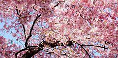 【春樱物语A】
