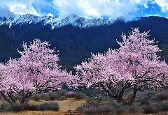 西藏林芝桃花沟大峡谷羊湖单卧单飞9日游